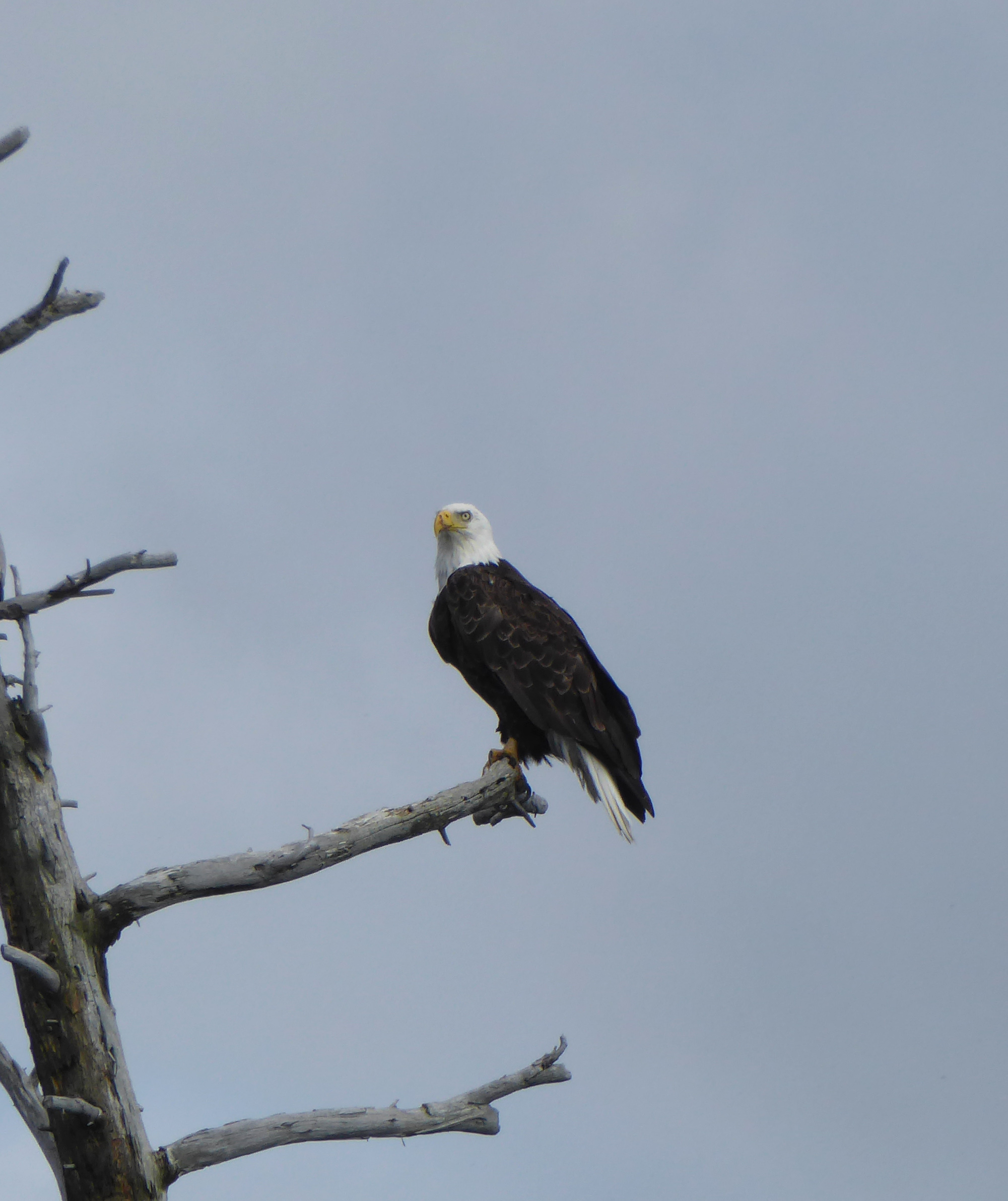 Photo of - Bald Eagle Spotted by Ray Heimbecker